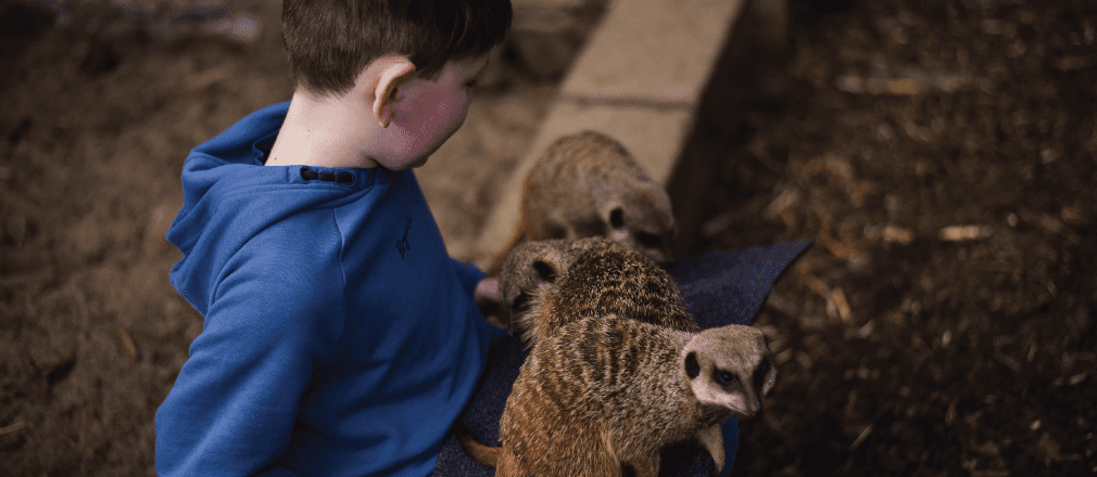 Young boy sitting down with meerkats on his lap