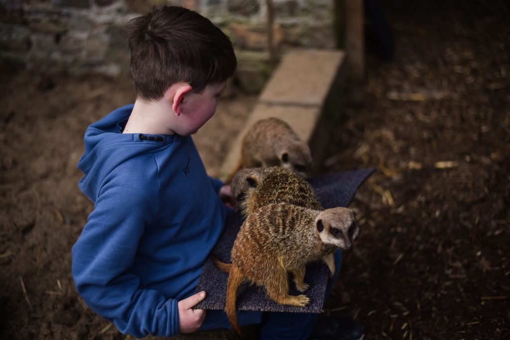 Little boy sitting down with baby meerkats on her lap